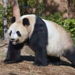 上野動物園のパンダ(シンシン)双子の子供のお披露目はいつ?名前は?